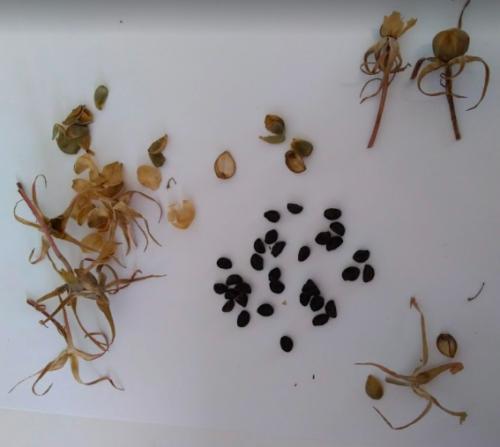 小学一年生の朝顔の種を収穫